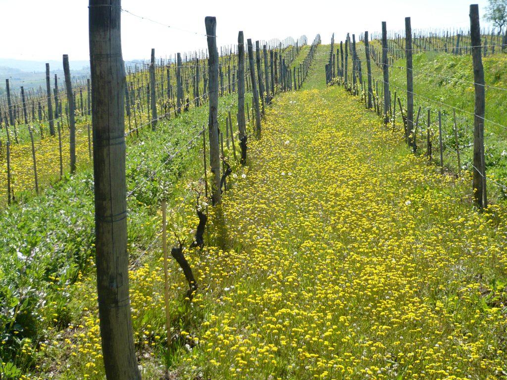 a Forår i vinmarken ved VV
