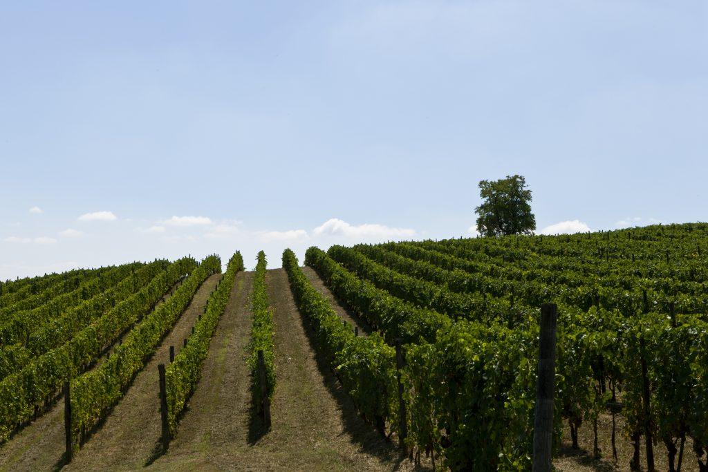 vinmark m kastanietræ VV
